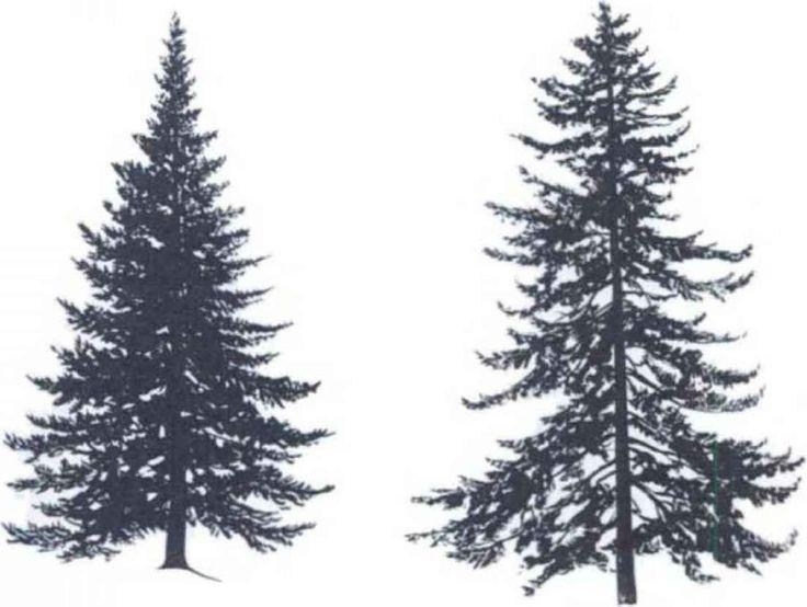 736x554 Pine Trees Drawing Tattoo Simple Living Tree In The World Places