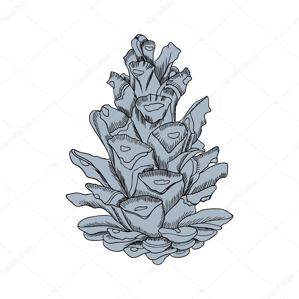 1024x1024 Detailed Pine Cone Drawing Stock Vector Goldenshrimp