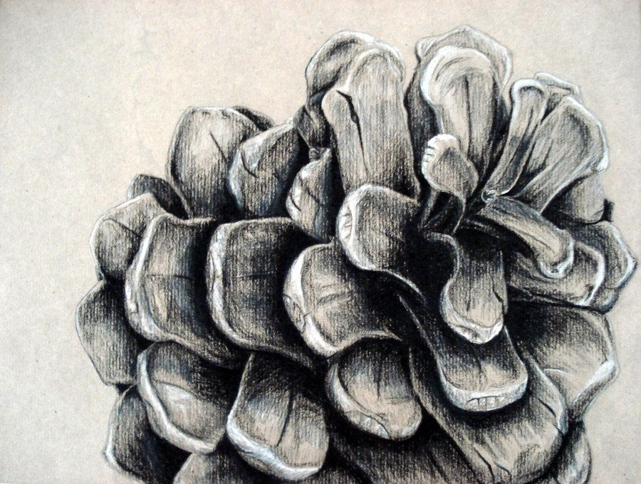 900x680 Pinecone Drawing Google Image Result For Httpfc01.