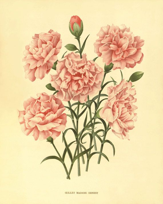 Pink carnation drawing at getdrawings free for personal use 570x713 image result for garden full of flowers illustration anxiety mightylinksfo