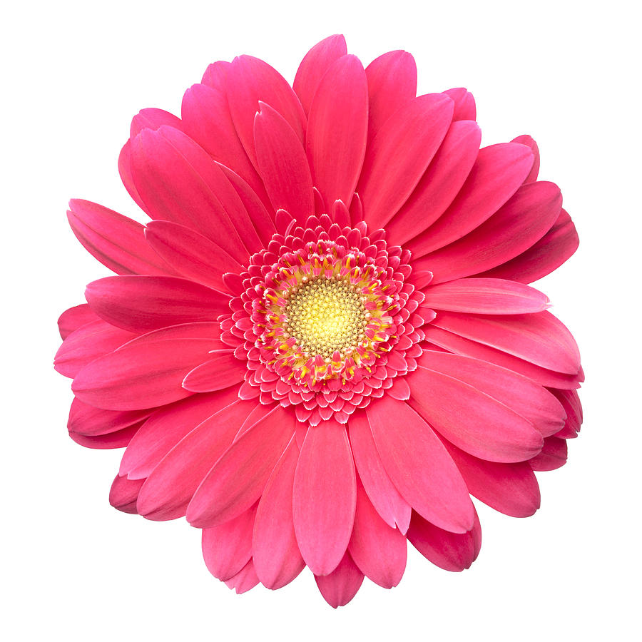 900x900 Pink Gerbera Daisy Isolated On White Photograph By Jill Fromer