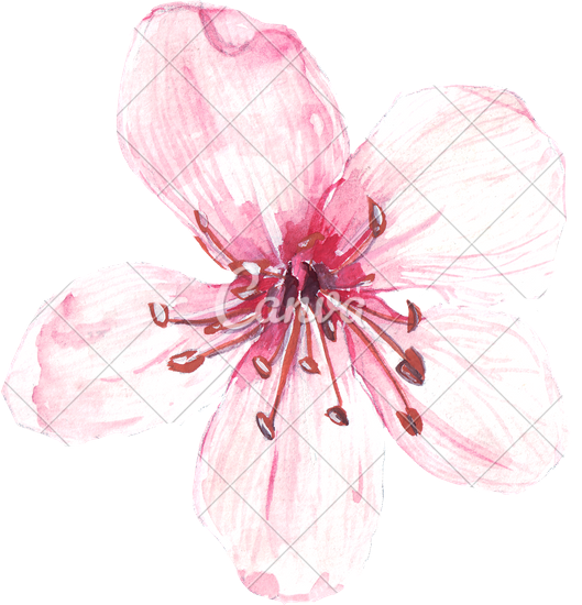 529x550 Hand Drawing Of Watercolour Pink Flower