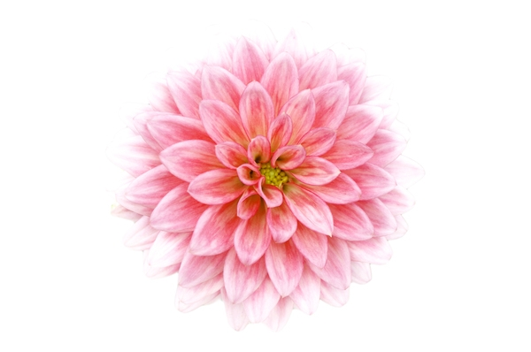 600x398 Pink Flower Drawing Free Stock Photos Rgbstock Free Stock Images