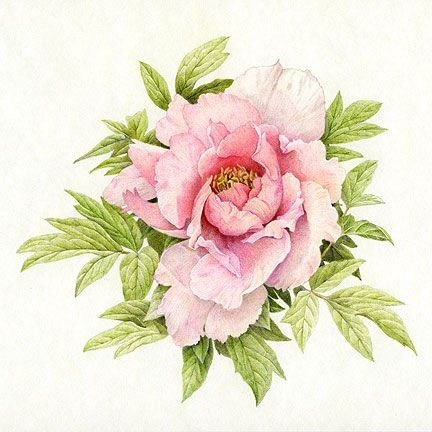 432x432 Pink Peony Drawing Elegant Flower Drawings In Pencil Colour