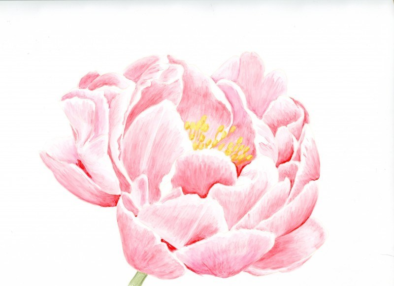 800x581 Pink Peony Drawing Awesome Drawn Peony Pink Peony Pencil And