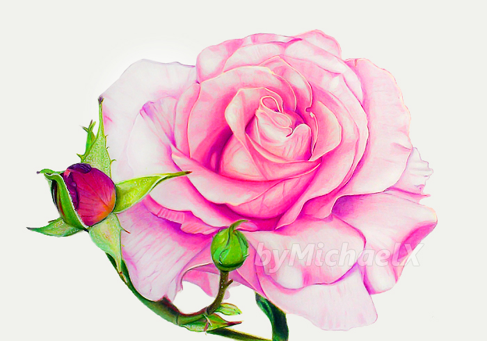 700x491 Drawing Rose Color Pencil By Bymichaelx