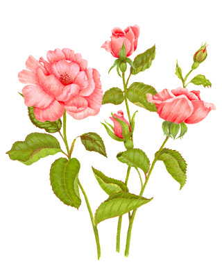 320x400 Pink Rose Botanical Art Pink Roses, Amazing Art