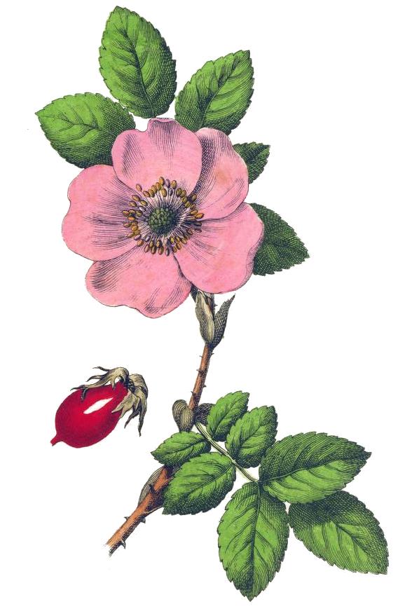 578x869 Pink Rose Drawing