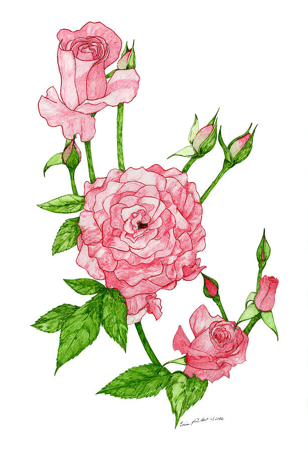 613x900 Pink Roses Drawing By Erica Tolbert