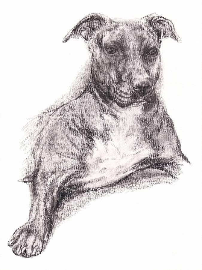 675x900 Pit Bull Terrier Drawings Fine Art America