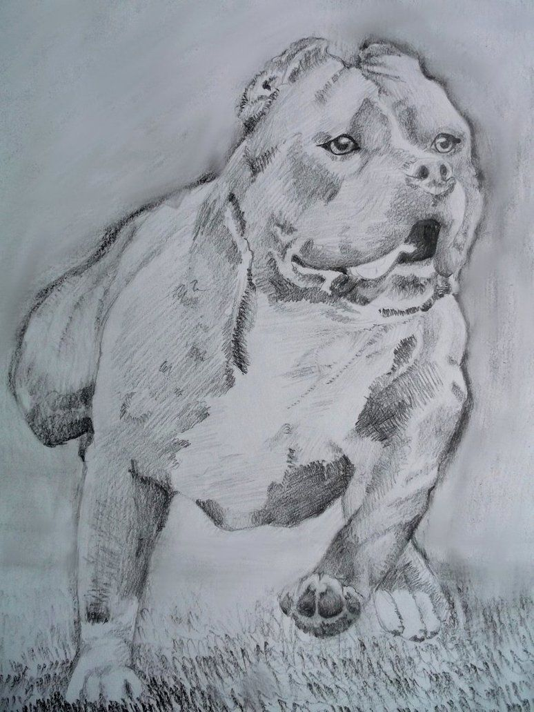 774x1032 American Pitbull Terrier By Sadlion On Pit Bull