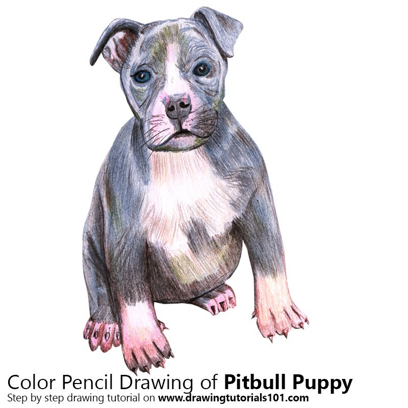 800x800 Pitbull Puppy Colored Pencils