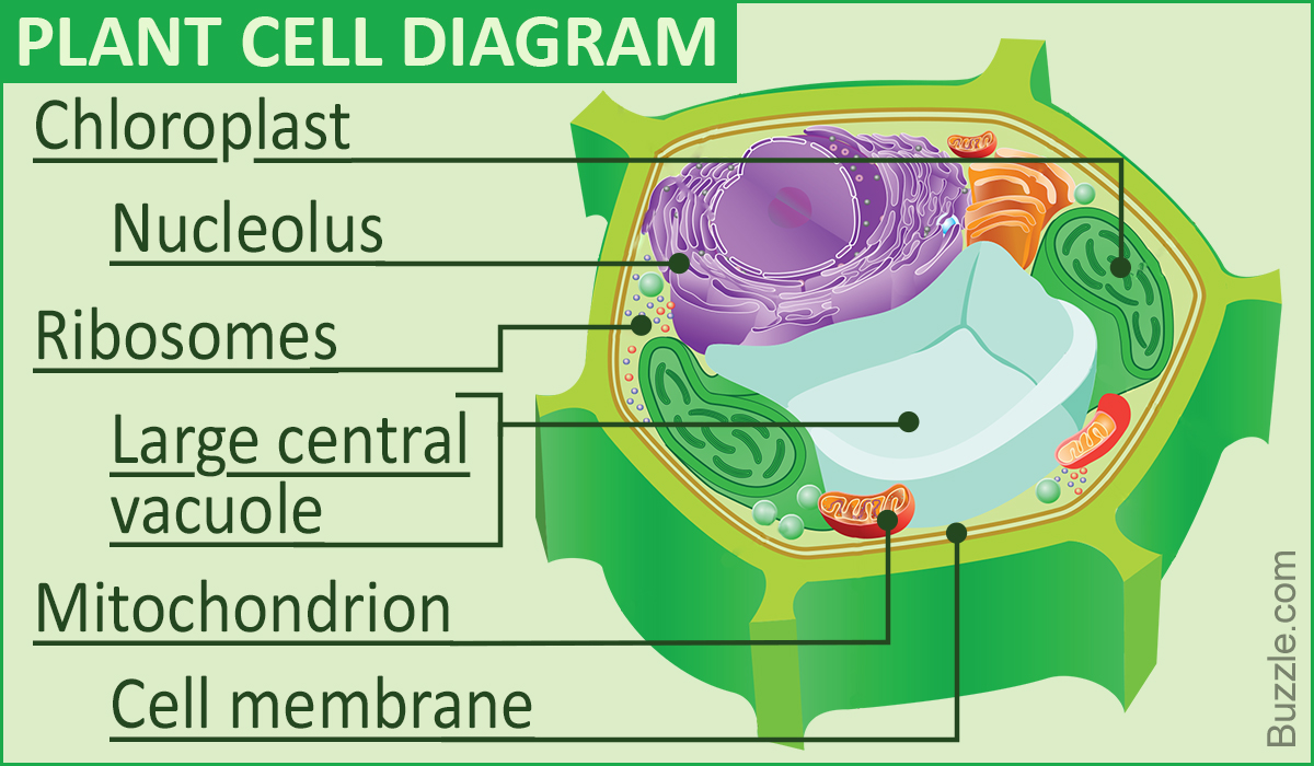 1200x700 A Labeled Diagram Of The Plant Cell And Functions Of Its Organelles