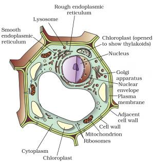 plant cell drawing at getdrawings com free for personal use plant rh getdrawings com Plant Cell Diagram Labeled Animal and Plant Cells