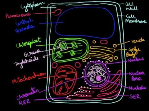 480x360 How To Draw A Plant Cell