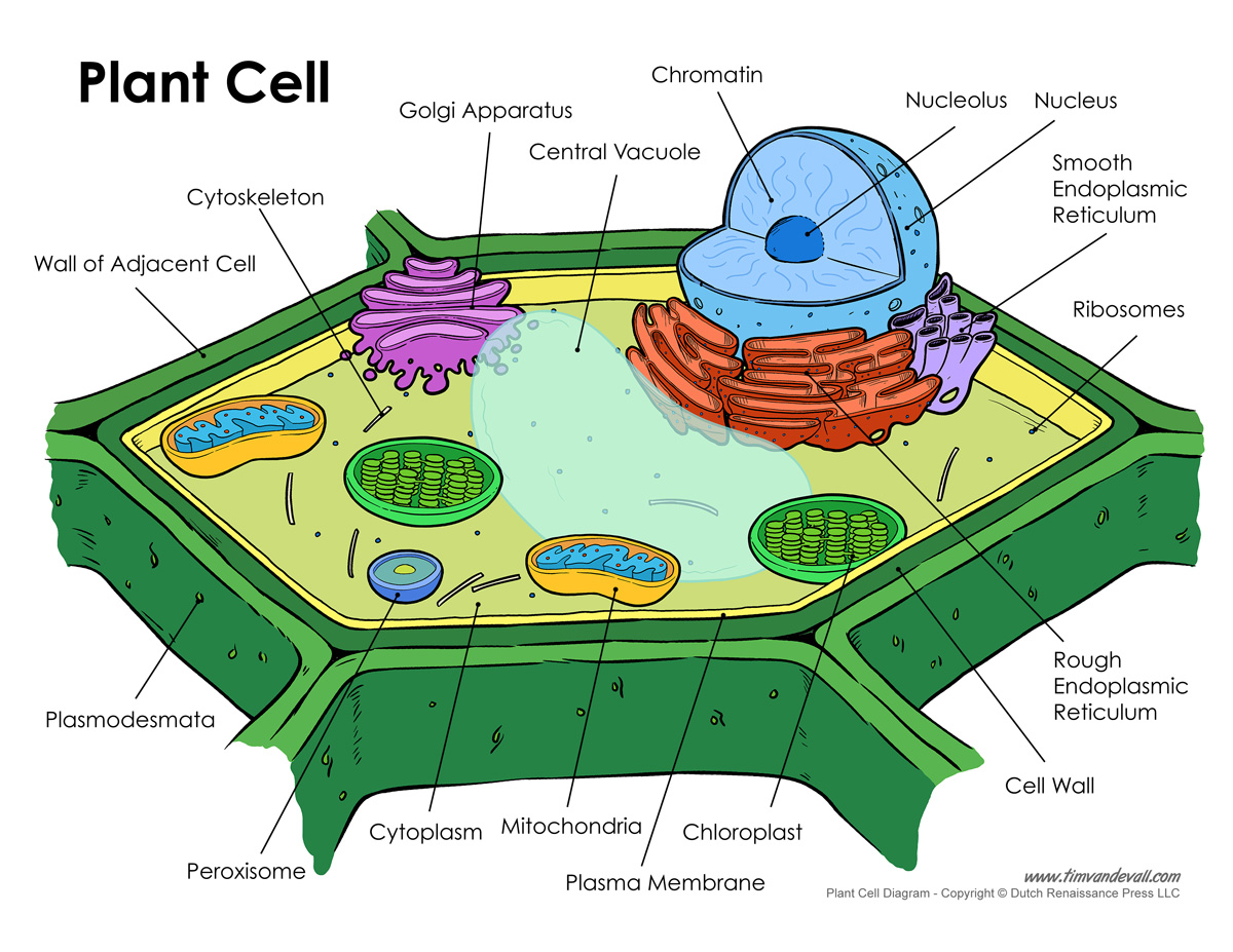 1200x927 Printable Plant Cell Diagram Labeled, Unlabeled, And Blank
