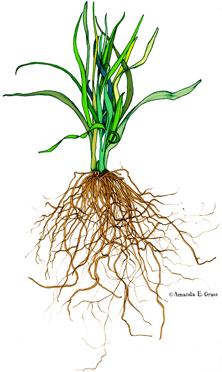 432x724 Onion Plant W Root System Botanical Drawing On Behance Tattoos