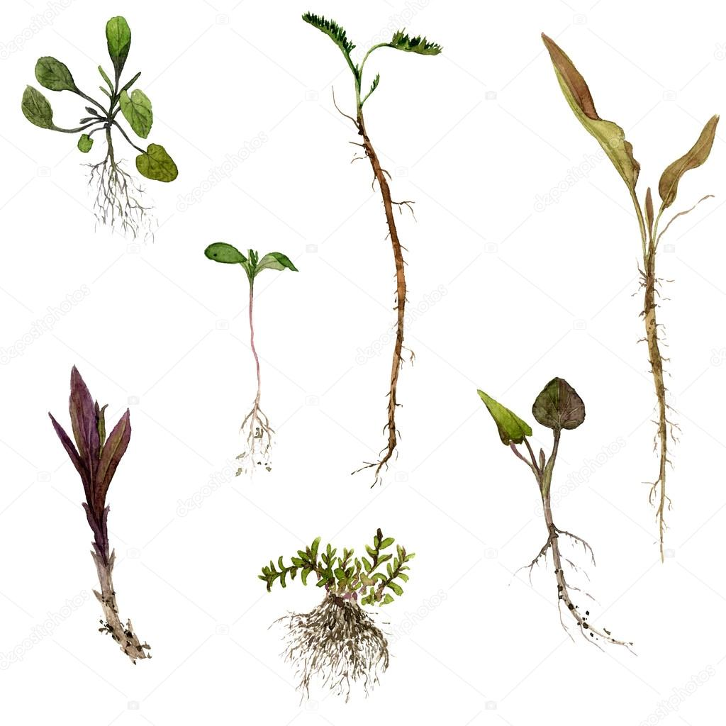 1024x1024 Set Of Watercolor Drawing Herbs With Roots Stock Photo