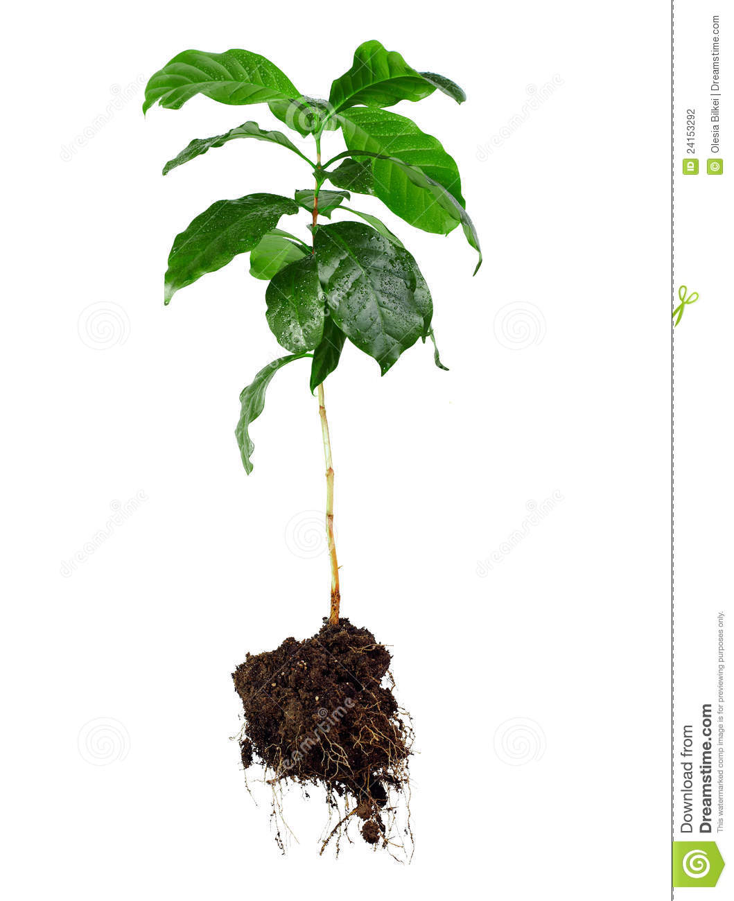 1059x1300 Tree With Roots Drawing Basil Plant
