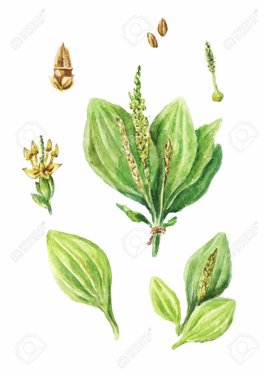 912x1300 Colorful Watercolor Drawing Of Plantain Isolated On White
