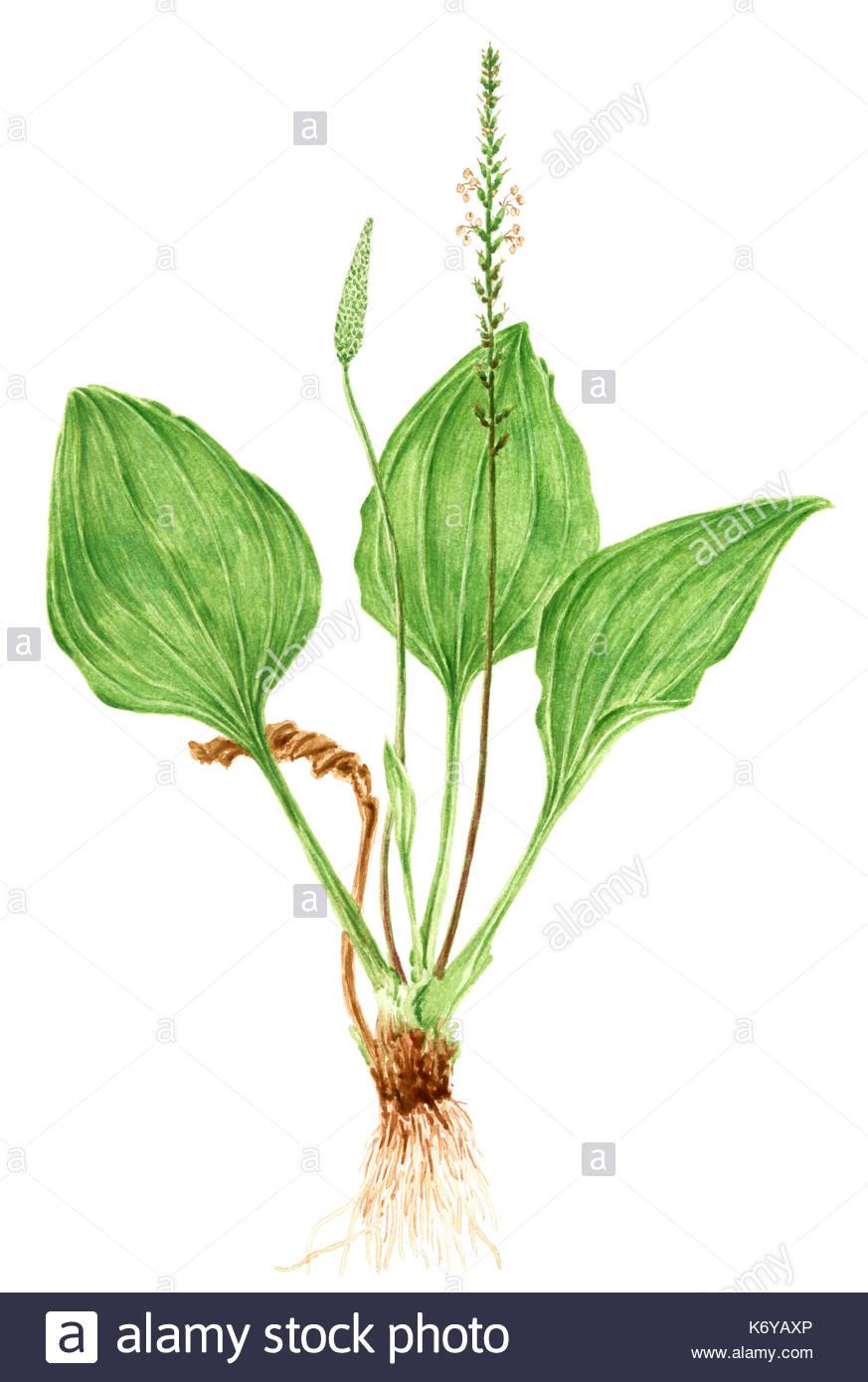 873x1390 Drawing Of A Broadleaf Plantain (Plantago Major) Plant. Watercolor