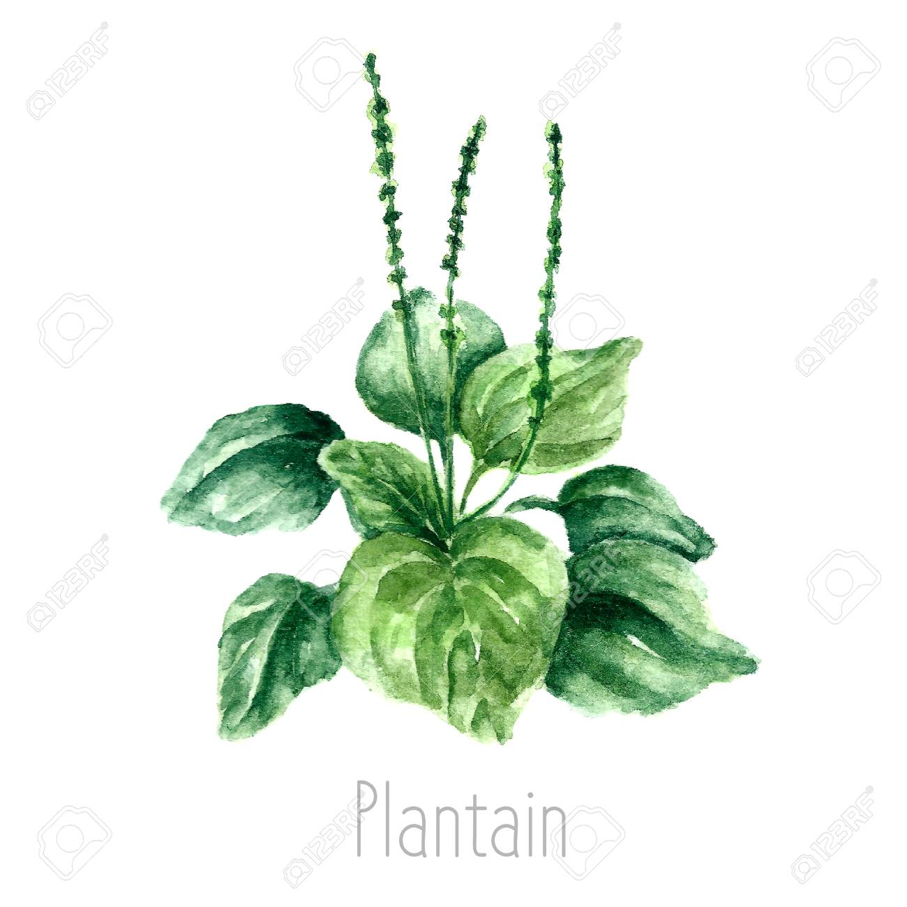 1300x1300 Hand Drawn Watercolor Botanical Illustration Of The Plantain