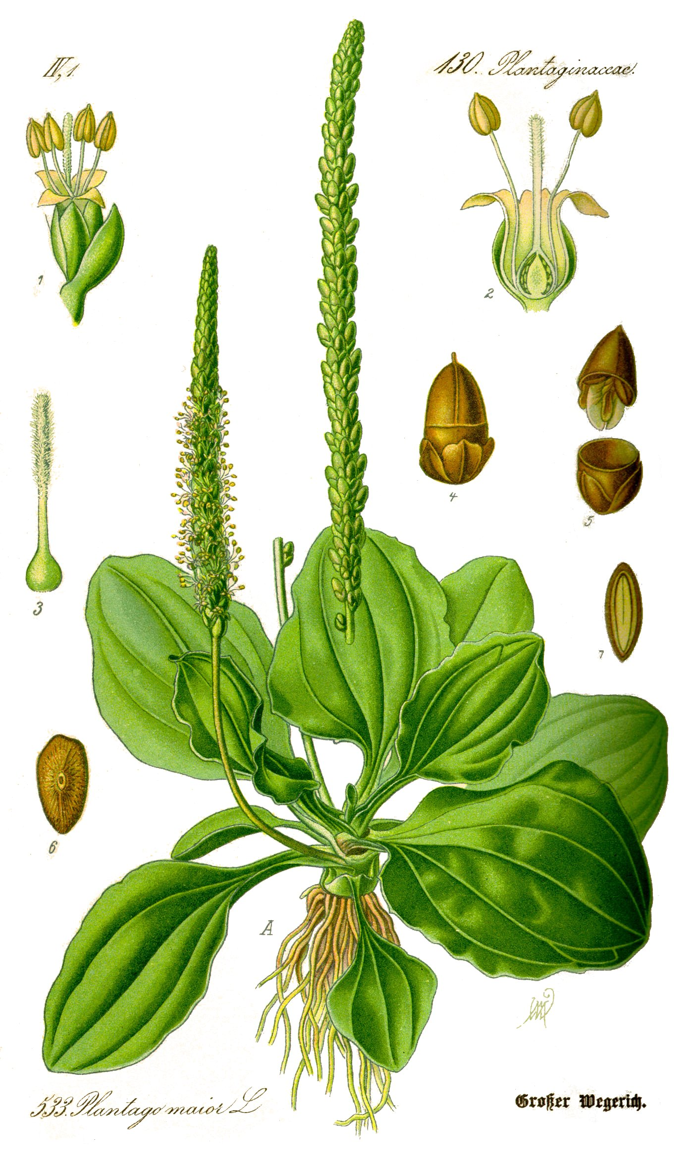 1407x2367 Herbs For Skin, Hair Amp Nails Plantain Amp Herbal Drawing Salve