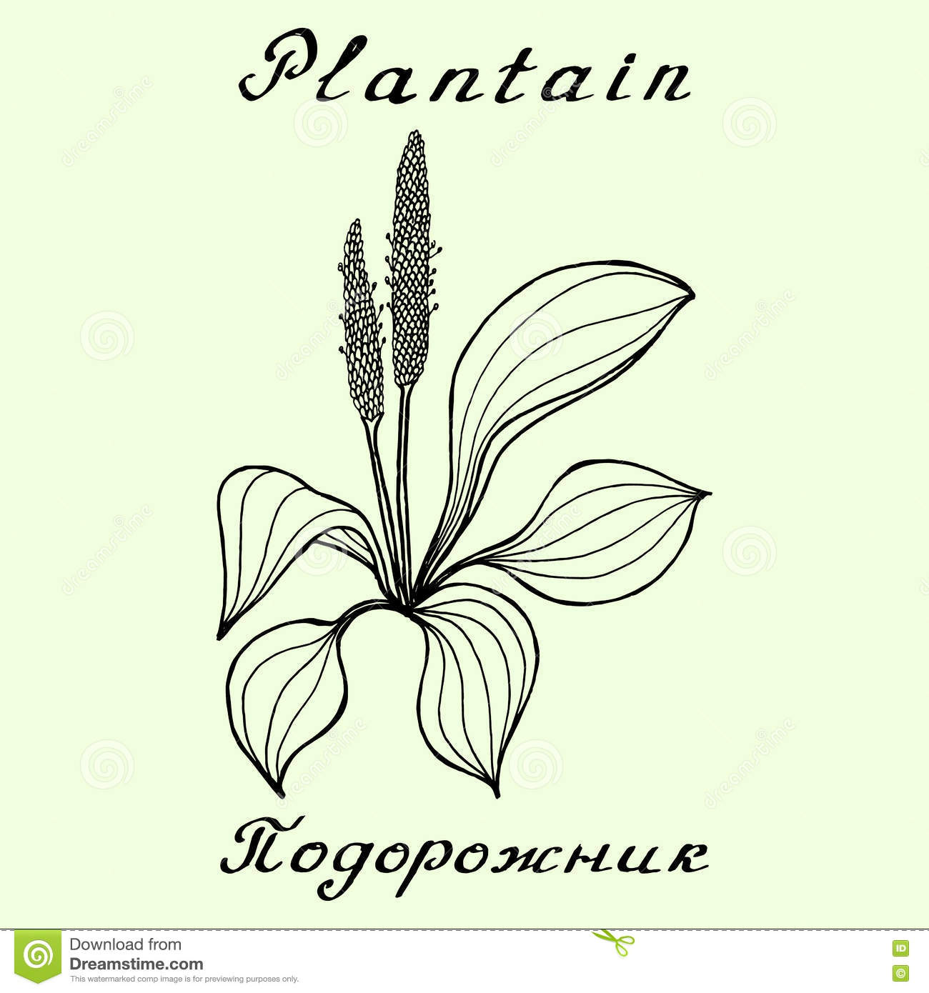 1300x1390 Image Result For Plantain Meadow Drawing Inspiration For Flo