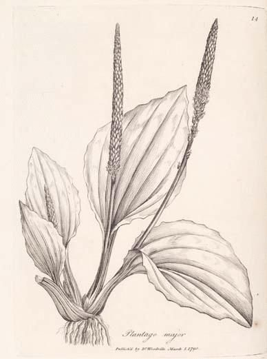 388x521 Plantain, Common Can Be Used In Spit Poultice On Insect Bites