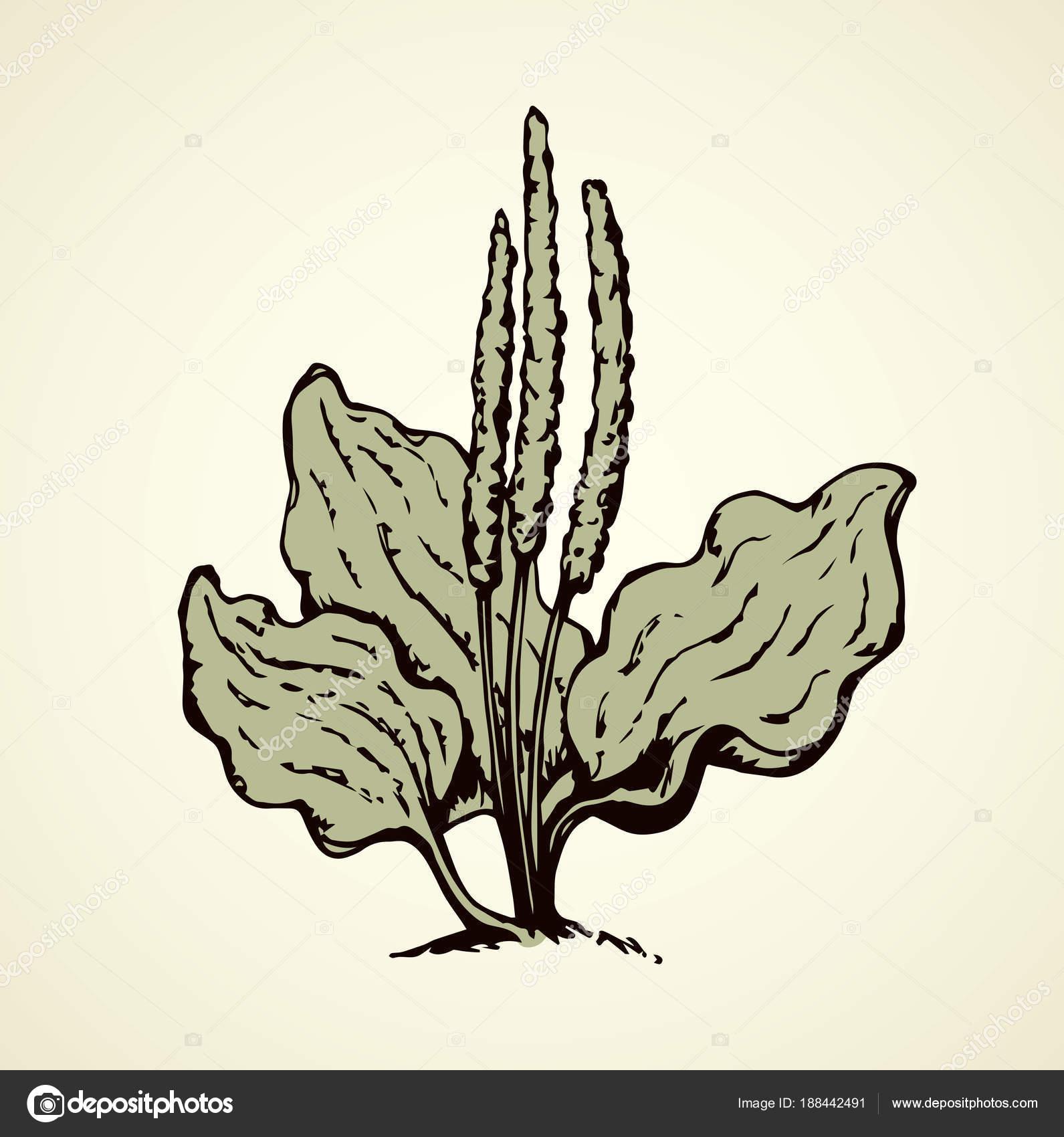 1591x1700 Plantain. Vector Drawing Stock Vector Marinka