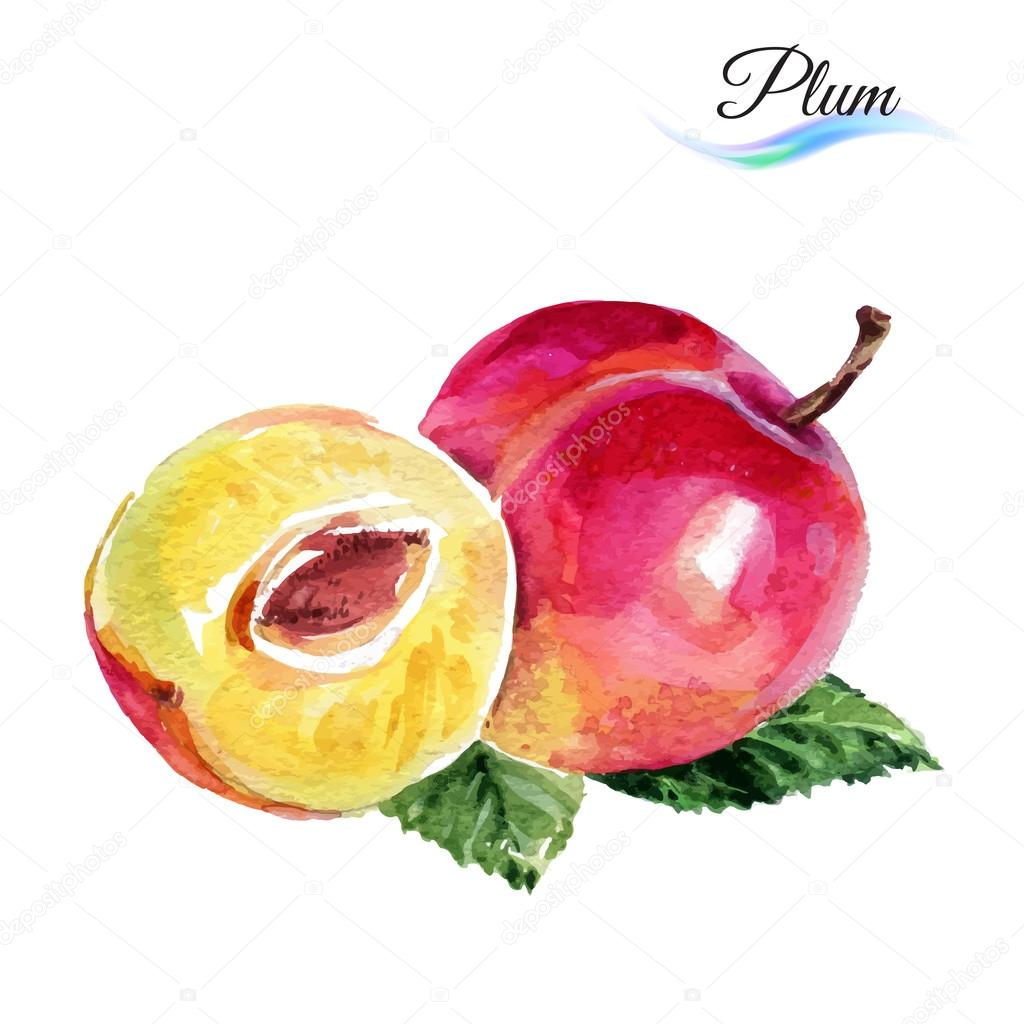 1024x1024 Plum Drawing Watercolor Stock Vector Dvargg