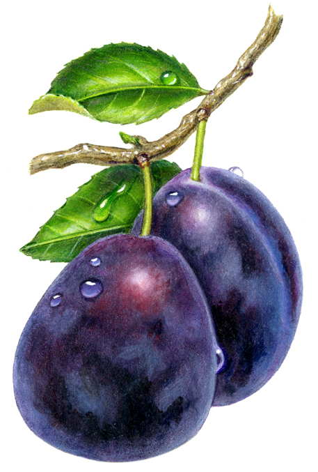 457x677 Drawing Fruit Plums