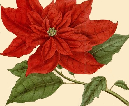 443x363 Christmas Poinsettia Botanical Drawing