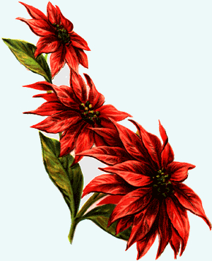 300x369 Poinsettia Drawings Free Vintage Art