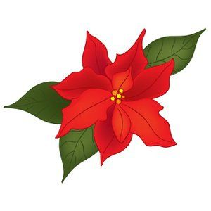 300x300 If You Plan To Or Already Have Planted Outdoor Poinsettias,