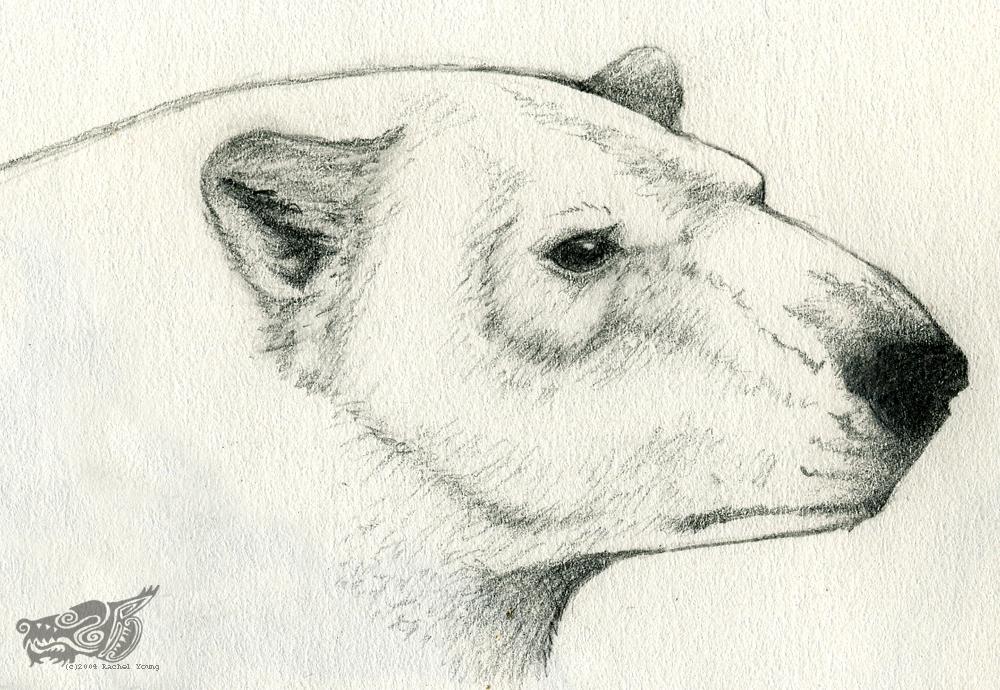 1000x690 Polar Bear Sketch By Rgyoung
