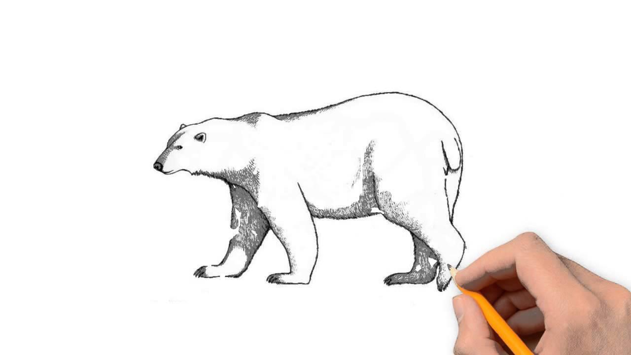 1280x720 Polar Bear Animals Pencil To Draw Step By Step