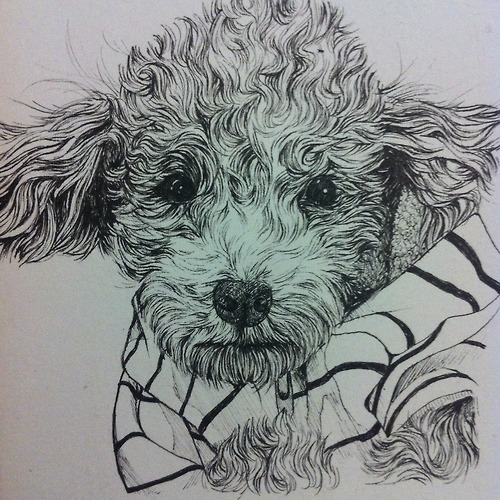 500x500 Toy Poodle Drawing By Kate Wonderland99
