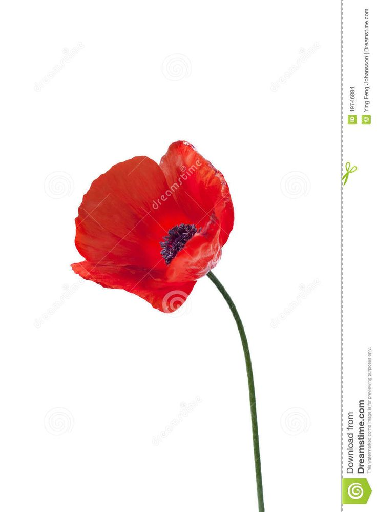 736x999 8 Best Places To Look Images On Poppy Drawing, Poppies