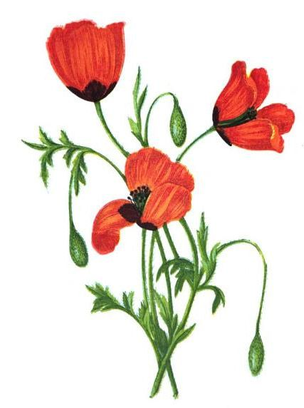 Poppy drawing at getdrawings free for personal use poppy 427x572 opium poppies drawing mightylinksfo