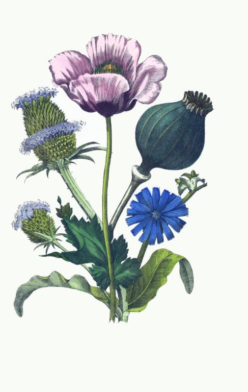 487x768 Drawing Of Teasel, Poppy Amp Chicory Flowers