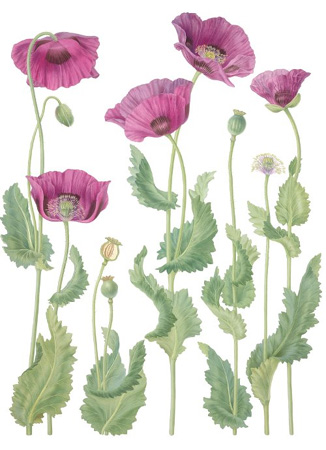 326x450 Gallery For Opium Poppy Flower Drawing Paperplay