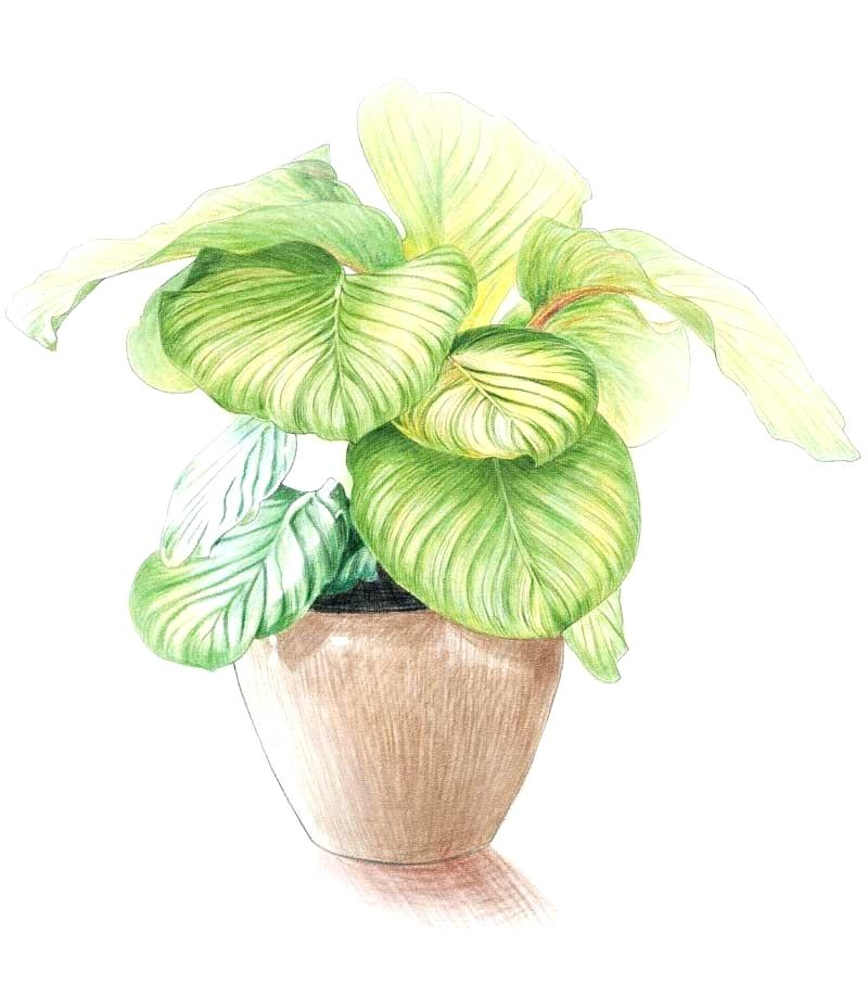 800x908 Potted Plant Drawings Potted Plant Growing Drawing Potted Plant
