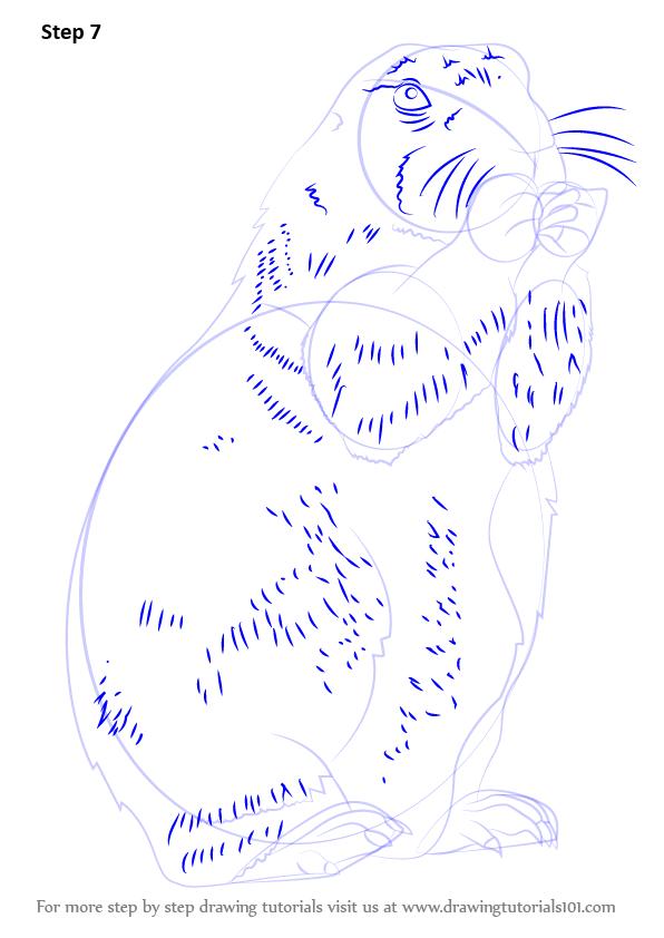 596x842 Step By Step How To Draw A Prairie Dog