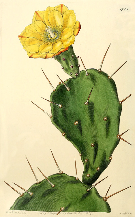 468x750 1834, Opuntia Vulgaris, Or Prickly Pear Cactus. 468 X 750