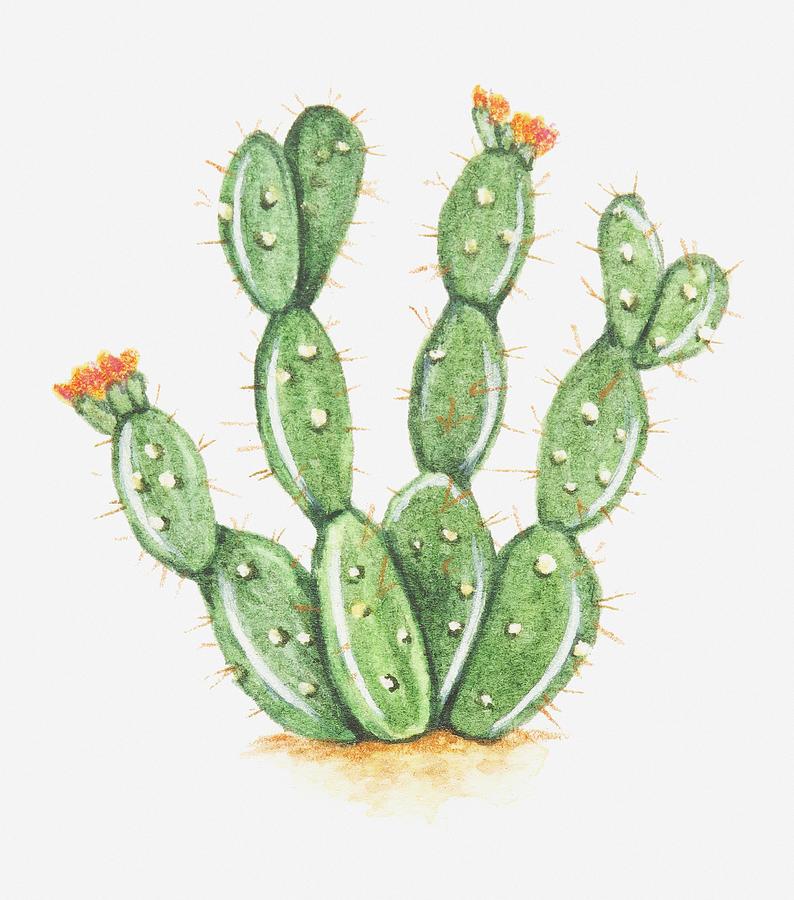794x900 Illustration Of Opuntia Sp (Prickly Pear Cactus) In Bloom Digital