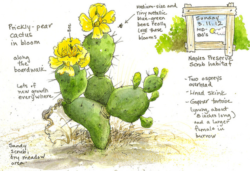 500x342 A Nature Art Journal In Southwest Florida Prickly Pear In Bloom