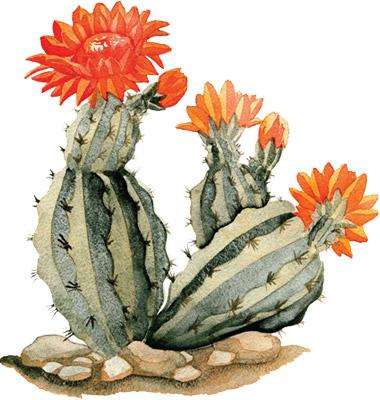 380x400 A Few Prickly Pear Cactus Flowers Eastern Sea Star