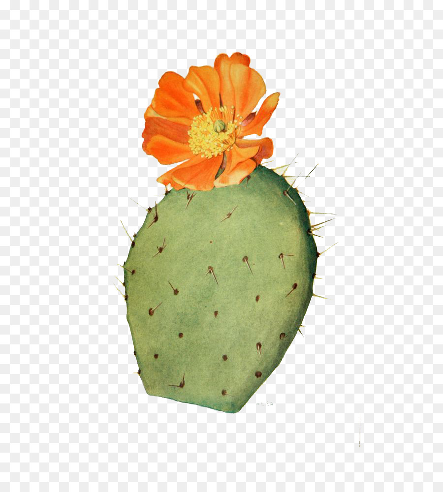 900x1000 Cactaceae Drawing Flower Prickly Pear Illustration
