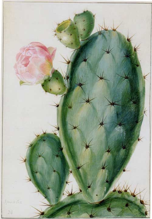 500x721 Drawings Of Flowering Plants. For The Marquis (Sic) Of Bute By